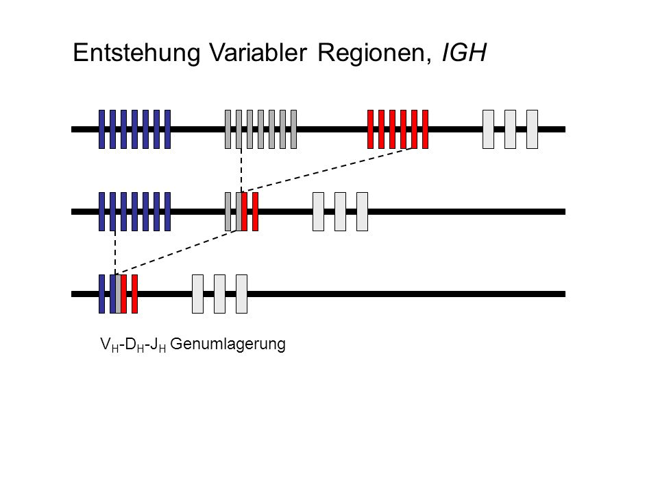 Entstehung Variabler Regionen, IGH