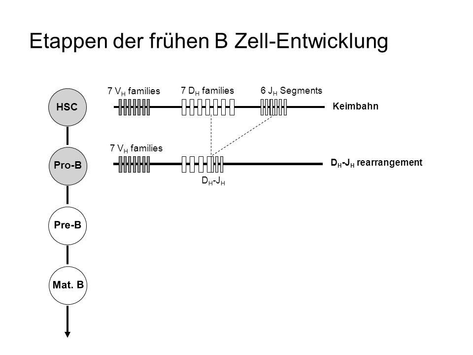 Etappen der frühen B Zell-Entwicklung