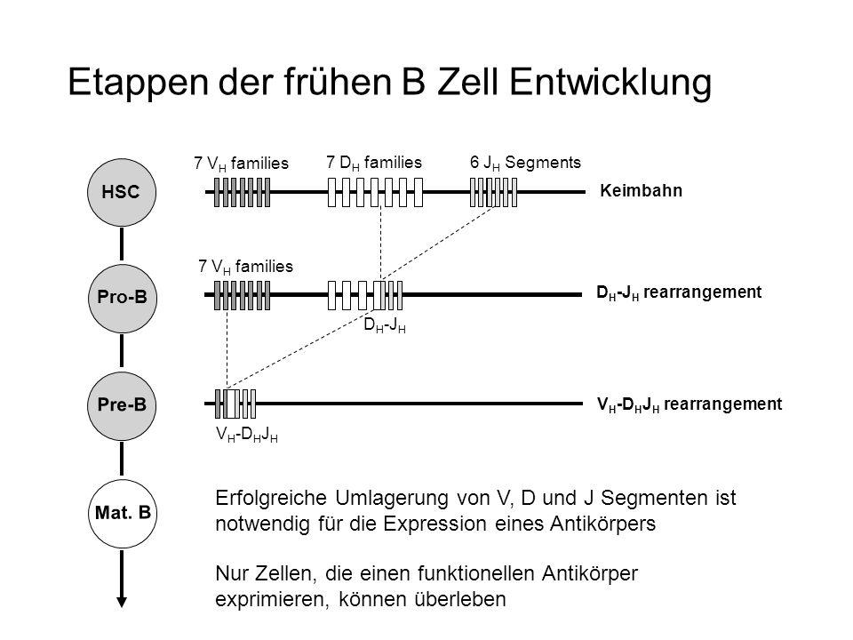 Etappen der frühen B Zell Entwicklung