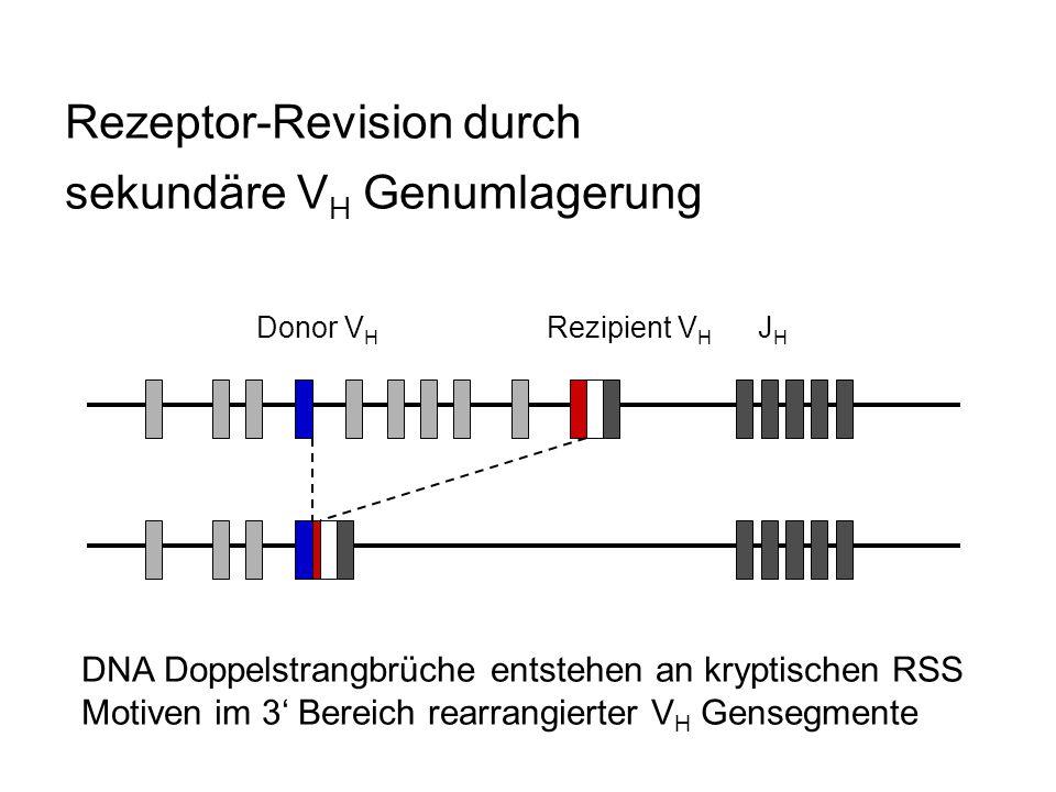 Rezeptor-Revision durch sekundäre VH Genumlagerung