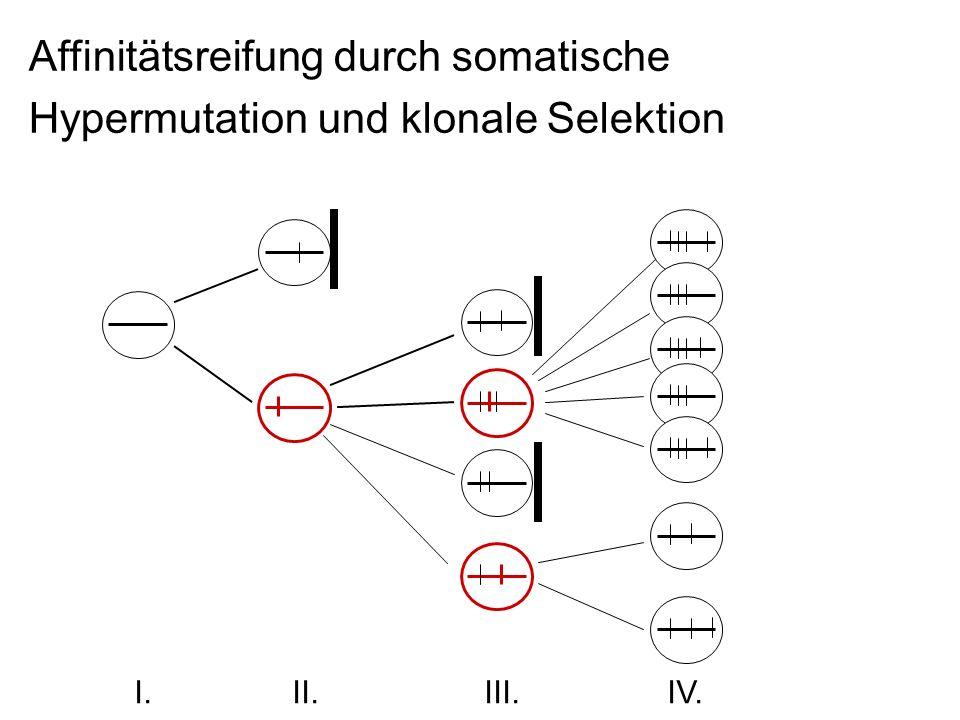 Affinitätsreifung durch somatische Hypermutation und klonale Selektion