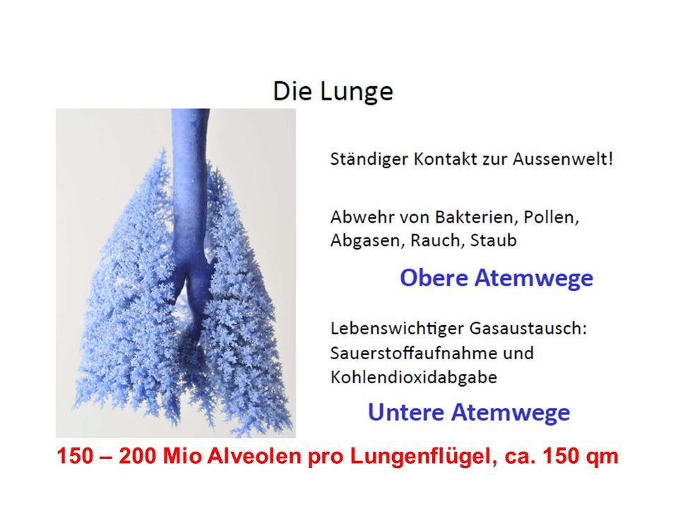 150 – 200 Mio Alveolen pro Lungenflügel, ca. 150 qm