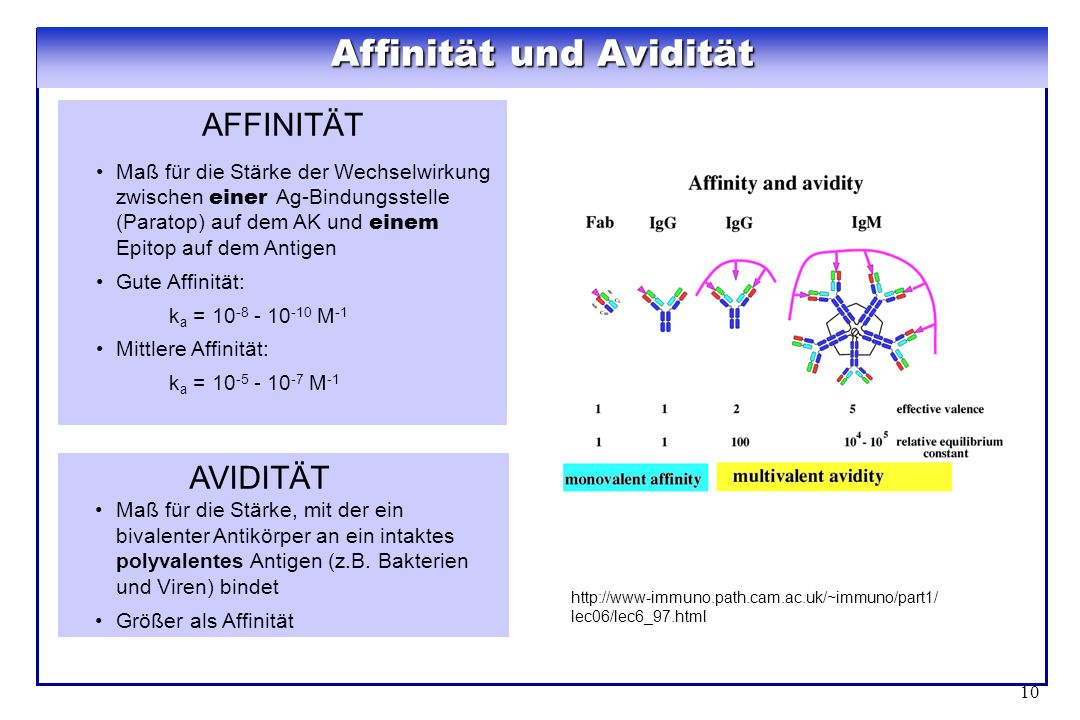 Affinität und Avidität