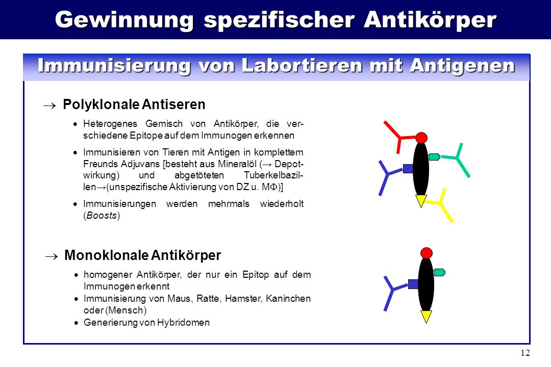 Gewinnung spezifischer Antikörper