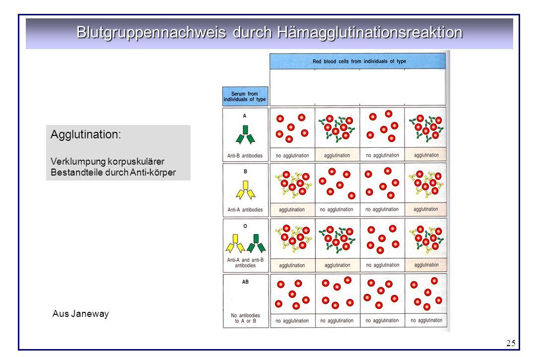 Blutgruppennachweis durch Hämagglutinationsreaktion