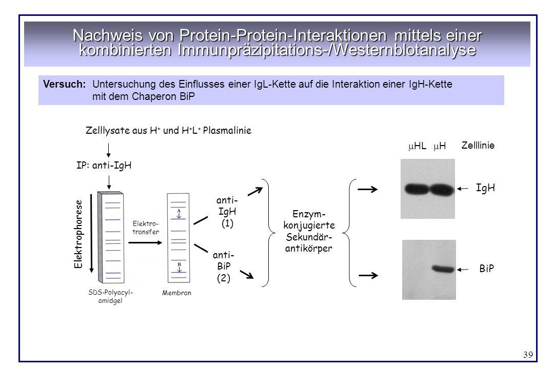 Nachweis von Protein-Protein-Interaktionen mittels einer kombinierten Immunpräzipitations-/Westernblotanalyse