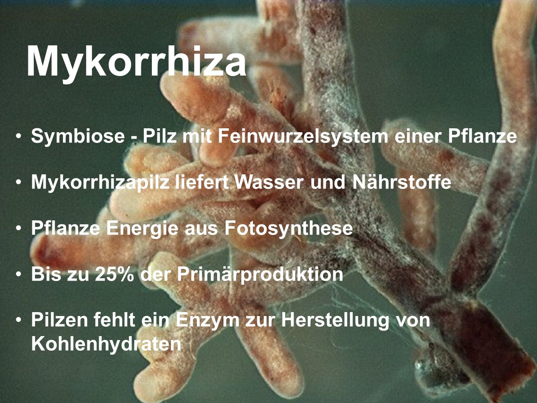 Mykorrhiza Symbiose - Pilz mit Feinwurzelsystem einer Pflanze