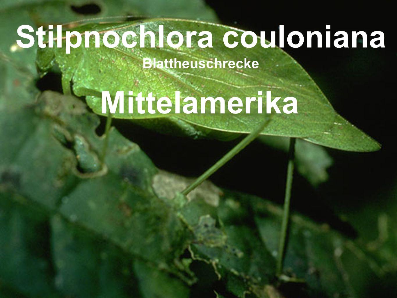 Stilpnochlora couloniana