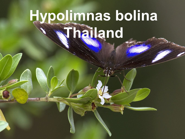Hypolimnas bolina Thailand
