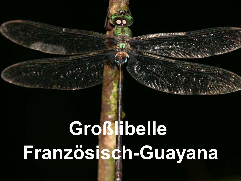 Großlibelle Französisch-Guayana