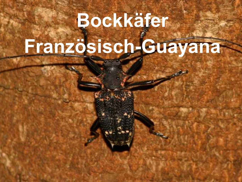 Bockkäfer Französisch-Guayana