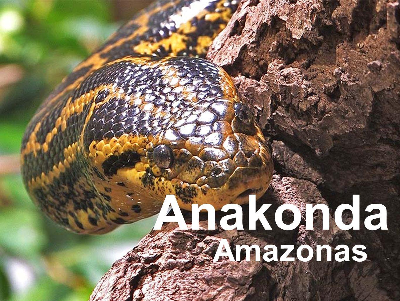 Anakonda Amazonas