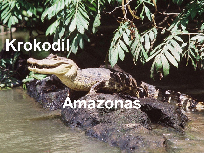 Krokodil Amazonas