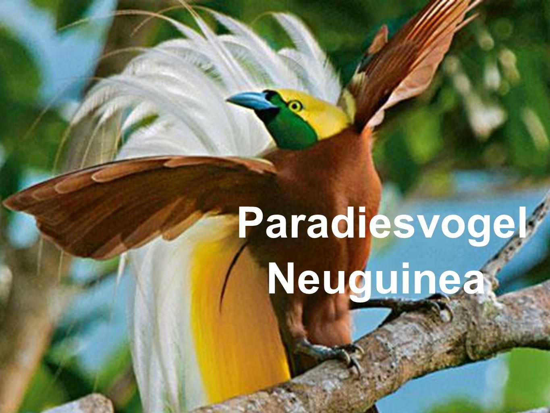 Paradiesvogel Neuguinea