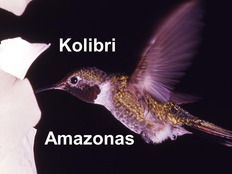 Kolibri Amazonas