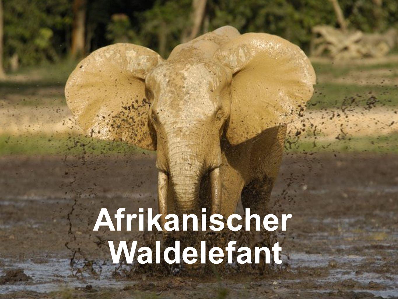 Afrikanischer Waldelefant