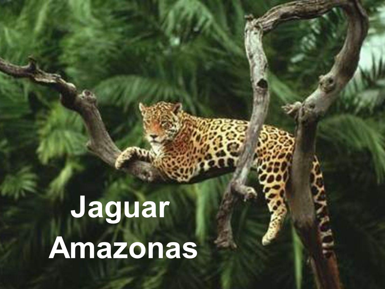 Jaguar Amazonas