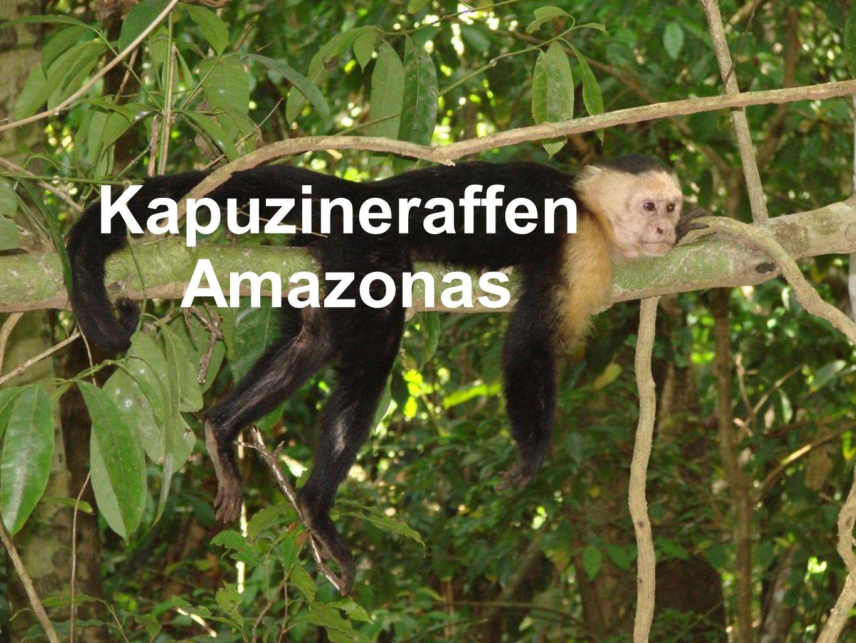 Kapuzineraffen Amazonas