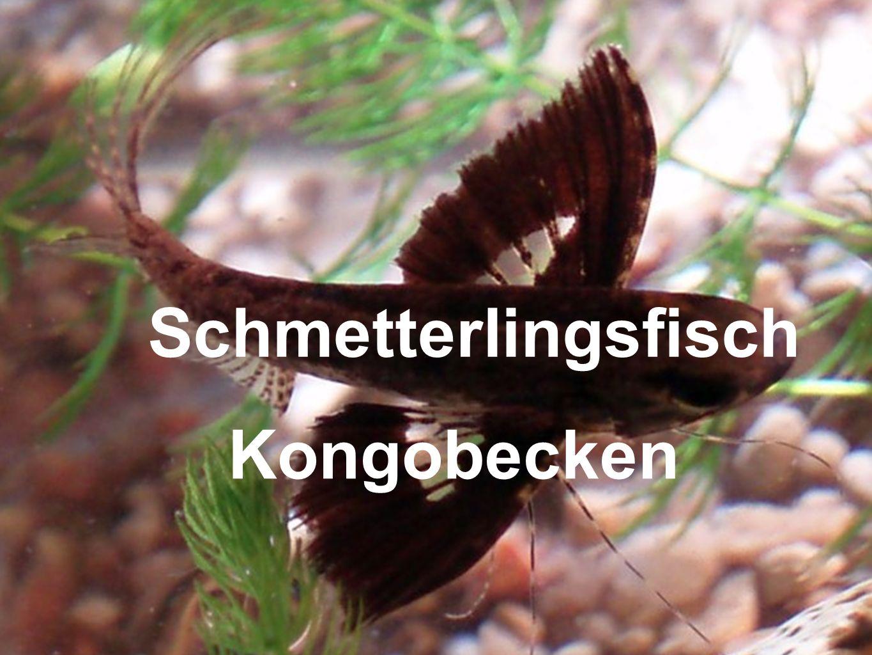 Schmetterlingsfisch Kongobecken