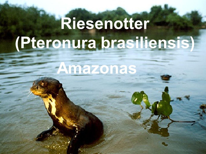 (Pteronura brasiliensis)