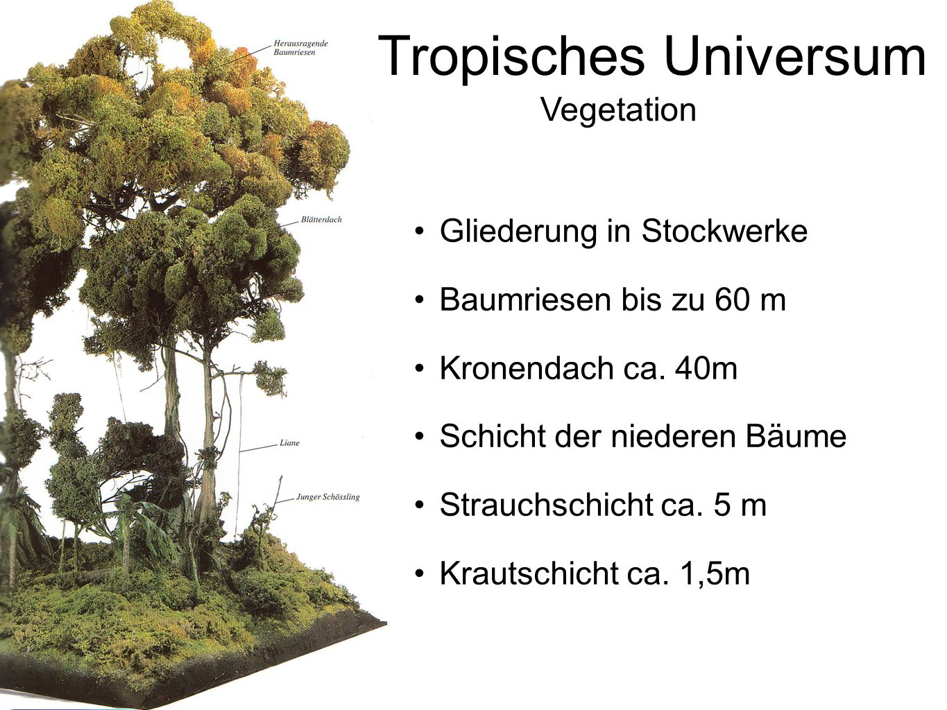 Tropisches Universum Vegetation Gliederung in Stockwerke