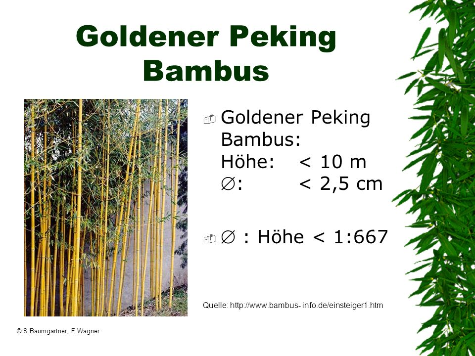 Goldener Peking Bambus
