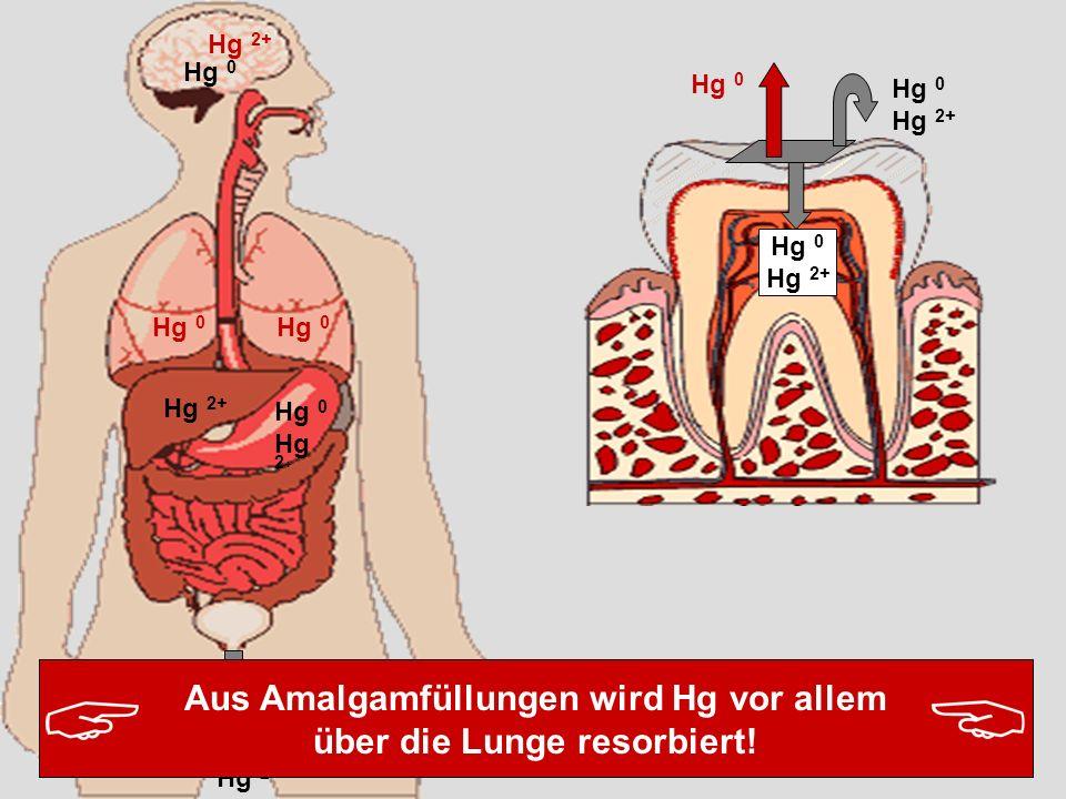 Aus Amalgamfüllungen wird Hg vor allem über die Lunge resorbiert!