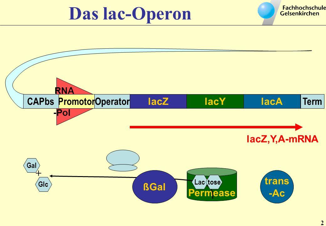 Das lac-Operon CAPbs Promotor Operator lacZ lacY lacA Term