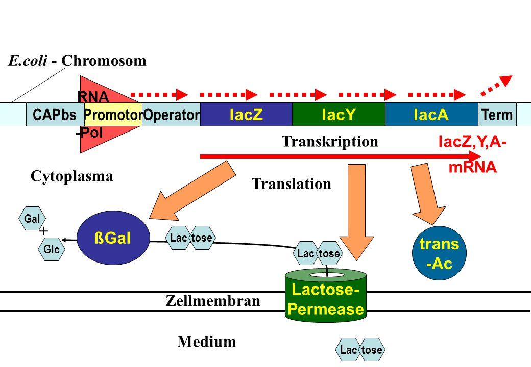 E.coli - Chromosom CAPbs Promotor Operator lacZ lacY lacA Term