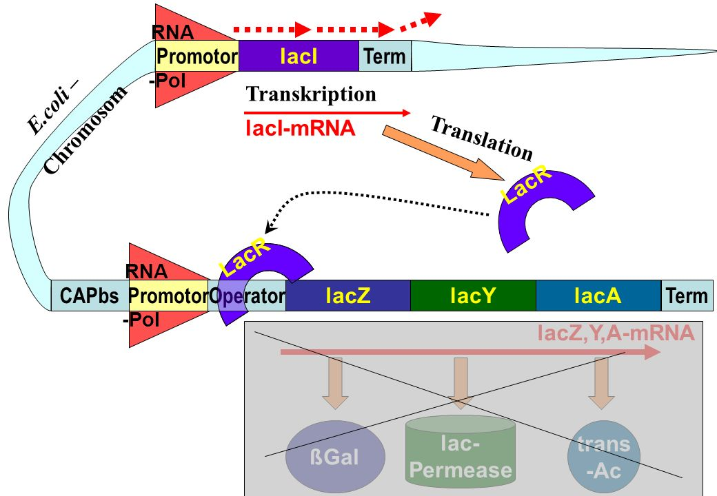 Promotor lacI Term E.coli – Chromosom Transkription lacI-mRNA