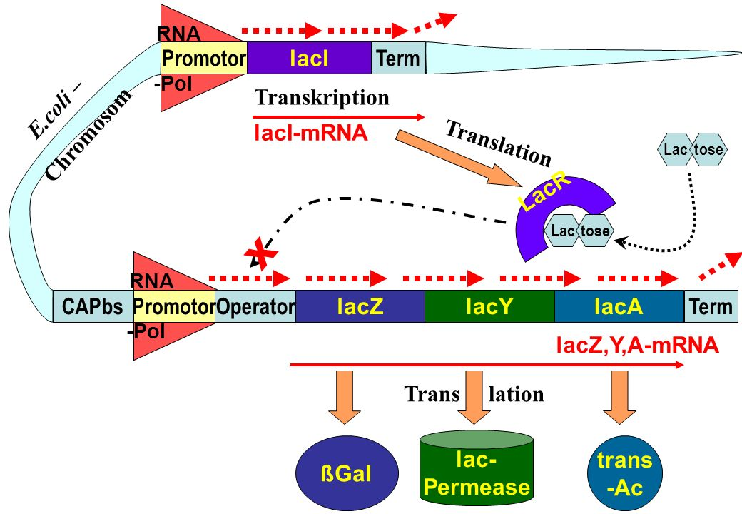 X Promotor lacI Term E.coli – Chromosom Transkription lacI-mRNA