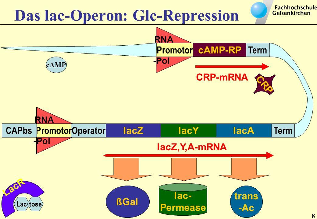 Das lac-Operon: Glc-Repression