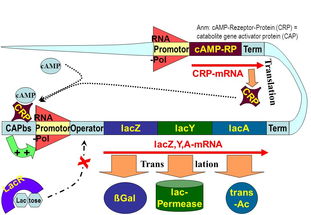 X + + Promotor cAMP-RP Term CRP-mRNA Translation CRP CRP CAPbs