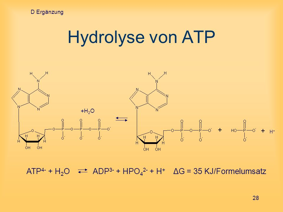 D Ergänzung Hydrolyse von ATP. +H2O.
