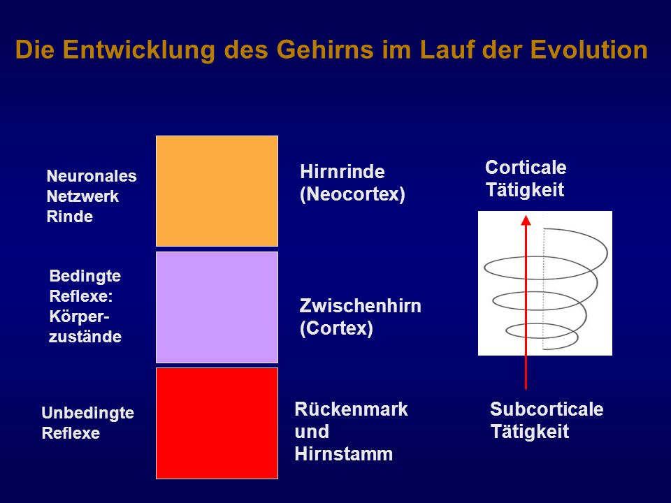 Die Entwicklung des Gehirns im Lauf der Evolution
