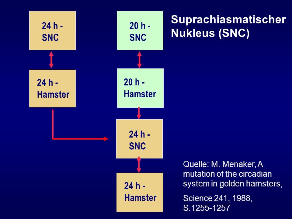 Suprachiasmatischer Nukleus (SNC)