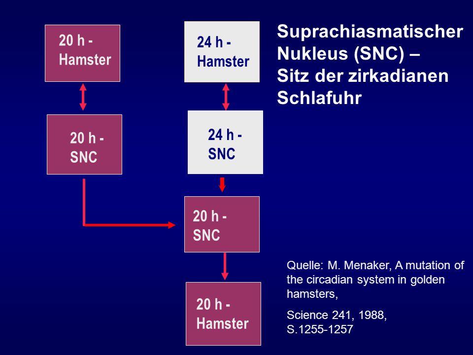 Suprachiasmatischer Nukleus (SNC) – Sitz der zirkadianen Schlafuhr