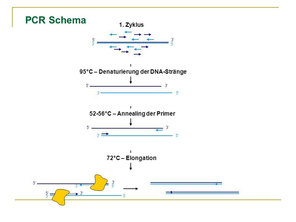 PCR Schema 1. Zyklus 95°C – Denaturierung der DNA-Stränge