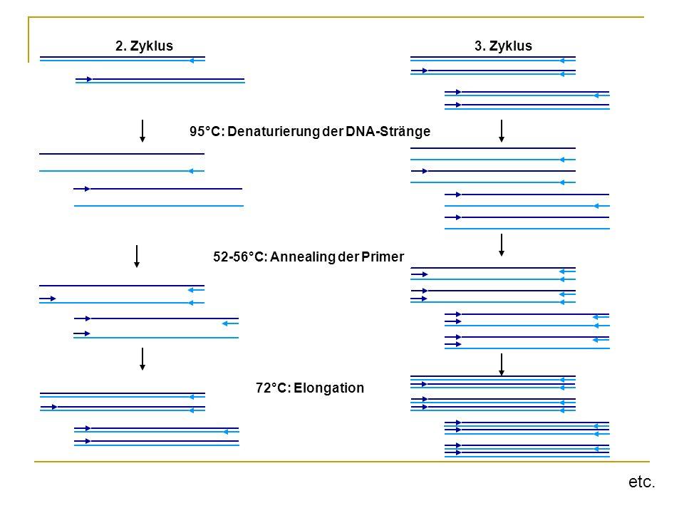 etc. 2. Zyklus 3. Zyklus 95°C: Denaturierung der DNA-Stränge