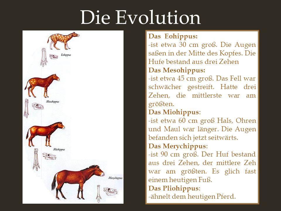 Die Evolution Das Eohippus:
