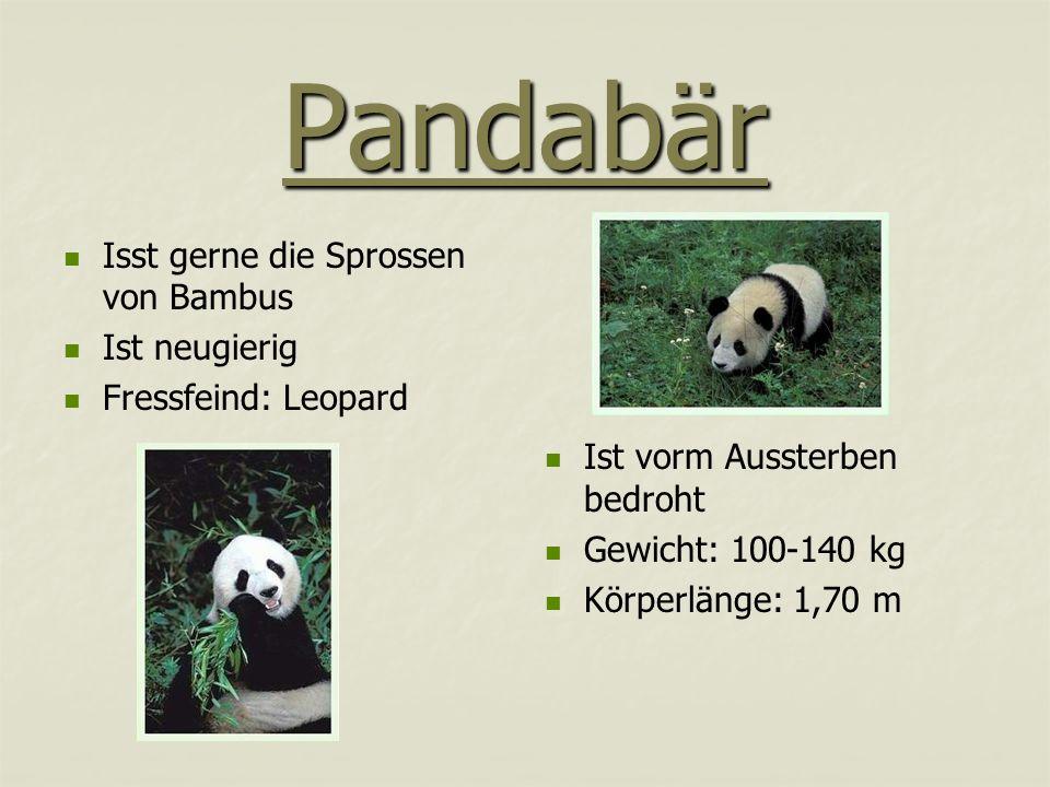 Pandabär Isst gerne die Sprossen von Bambus Ist neugierig