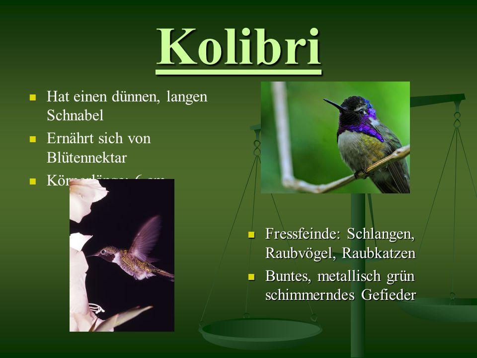 Kolibri Hat einen dünnen, langen Schnabel