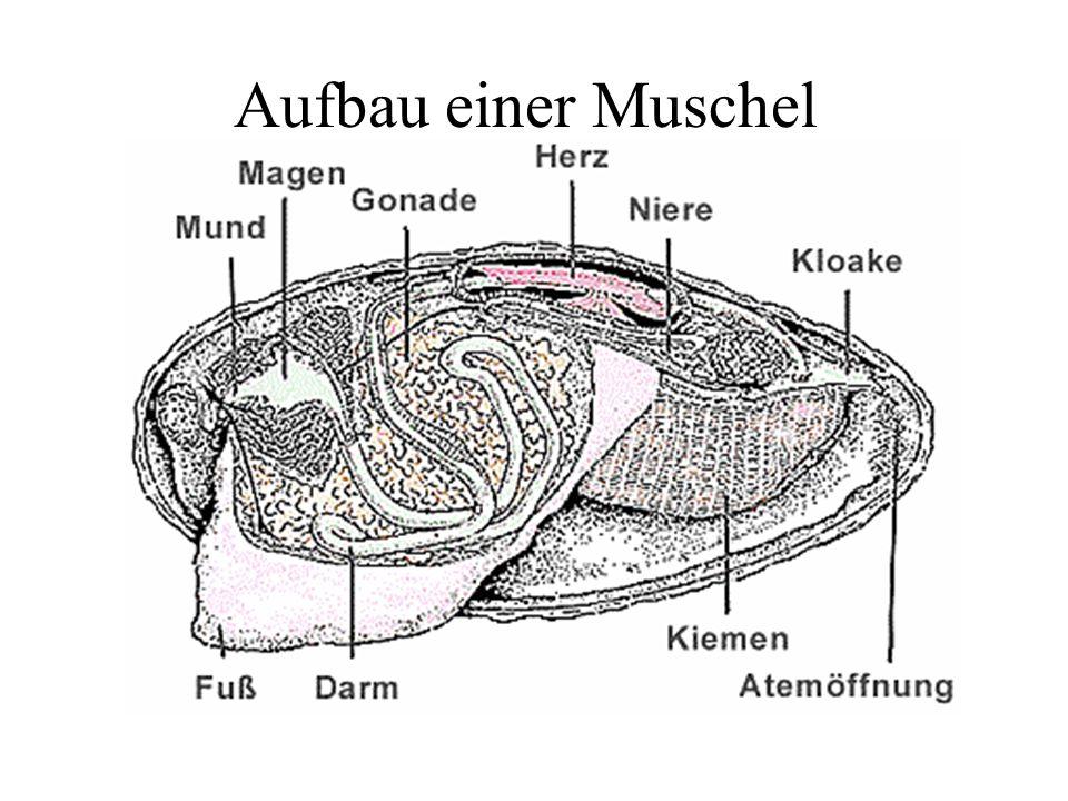 Aufbau einer Muschel