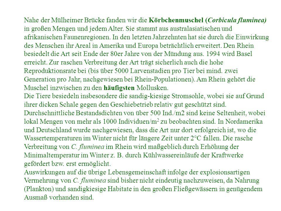 Nahe der Mülheimer Brücke fanden wir die Körbchenmuschel (Corbicula fluminea) in großen Mengen und jedem Alter. Sie stammt aus australasiatischen und afrikanischen Faunenregionen. In den letzten Jahrzehnten hat sie durch die Einwirkung des Menschen ihr Areal in Amerika und Europa beträchtlich erweitert. Den Rhein besiedelt die Art seit Ende der 80er Jahre von der Mündung aus. 1994 wird Basel erreicht. Zur raschen Verbreitung der Art trägt sicherlich auch die hohe Reproduktionsrate bei (bis über 5000 Larvenstadien pro Tier bei mind. zwei Generation pro Jahr, nachgewiesen bei Rhein-Populationen). Am Rhein gehört die Muschel inzwischen zu den häufigsten Mollusken.