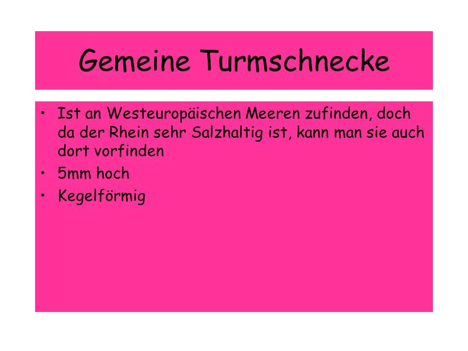 Gemeine Turmschnecke Ist an Westeuropäischen Meeren zufinden, doch da der Rhein sehr Salzhaltig ist, kann man sie auch dort vorfinden.