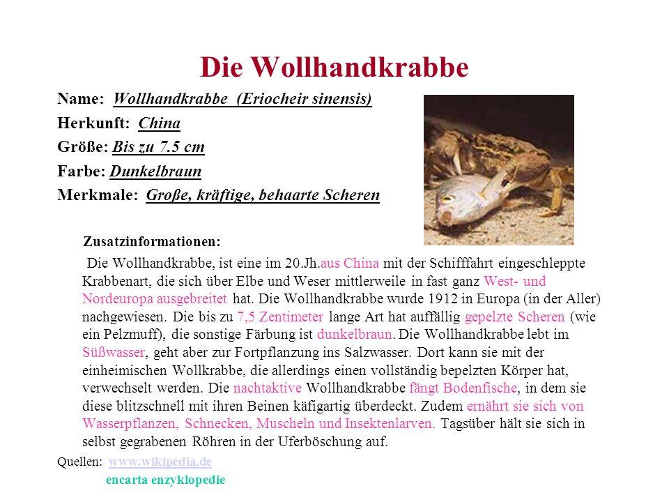 Die Wollhandkrabbe Name: Wollhandkrabbe (Eriocheir sinensis)