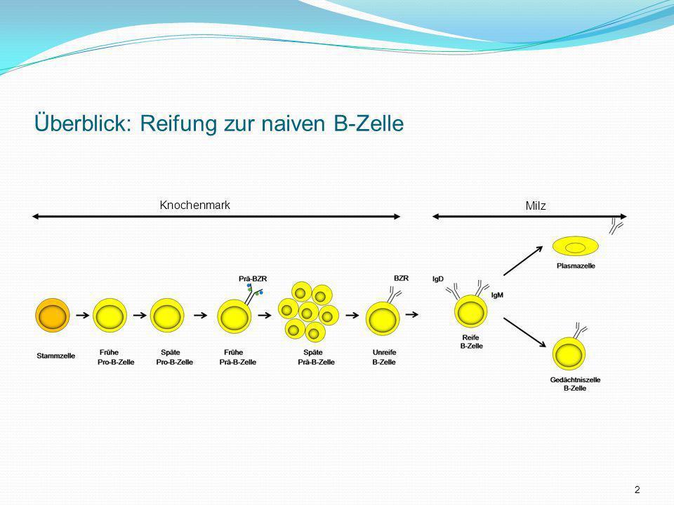 Überblick: Reifung zur naiven B-Zelle