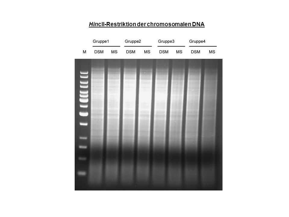 HincII-Restriktion der chromosomalen DNA