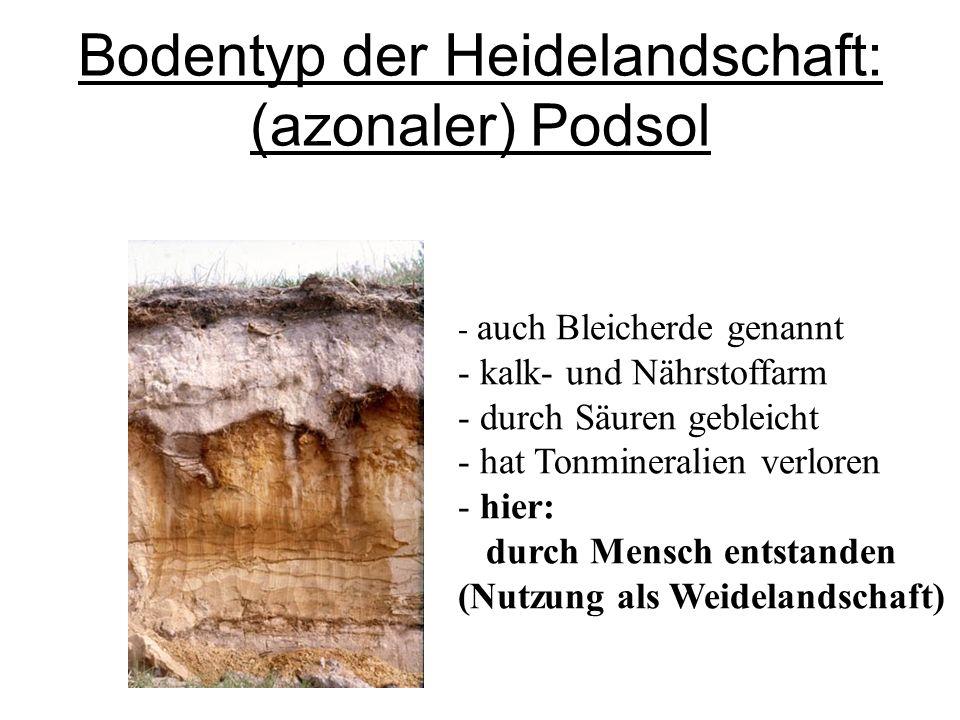 Bodentyp der Heidelandschaft: (azonaler) Podsol