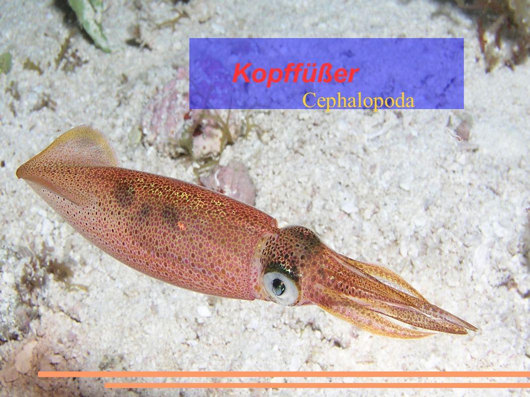 Kopffüßer Cephalopoda